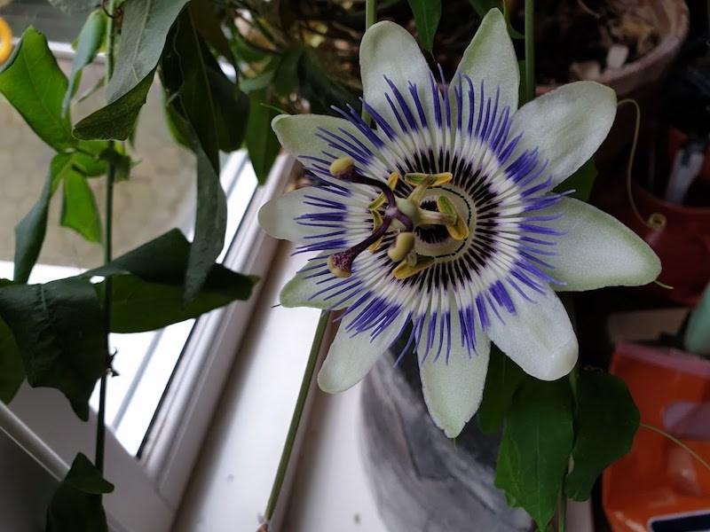 2d870c8192f5 Passion for blomster - ikke mindst passionsblomster - Aakirkeby.nu